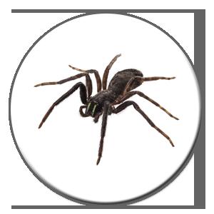 Les araignées peuvent sembler nuisibles pour certains, le prix d'un exterminateur doit alors être considéré à Québec ou Montréal.