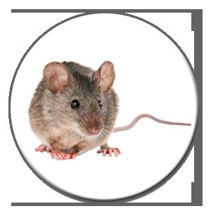 Le prix pour un exterminateur à Montréal ou à Québec varie si vous avez affaire à des souris.