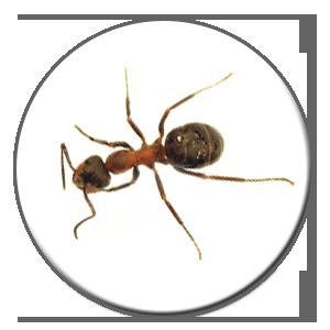 La fourmi charpentière, la grande gagnante pour le plus haut prix pour un exterminateur à Québec ou à Montréal.