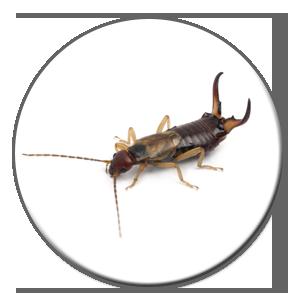 Les perce-oreilles, ces pestes qui requièrent l'aide d'un exterminateur pour qu'ils s'en aillent.