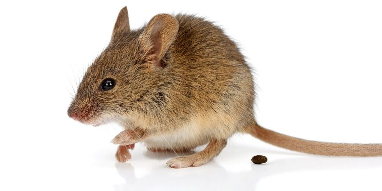 comment-reagir-quand-vous-trouvez-excrements-souris