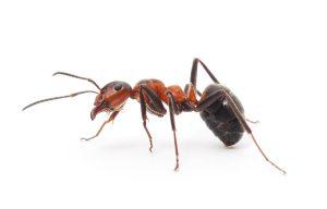 exterminateur-fourmi