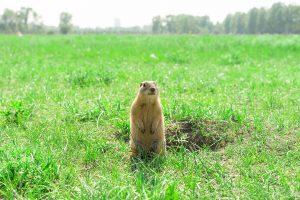 exterminateur-marmotte-