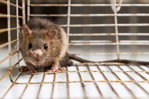 exterminateur-rat-egout