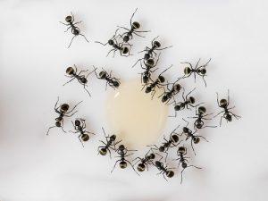 extermination-fourmis-noires