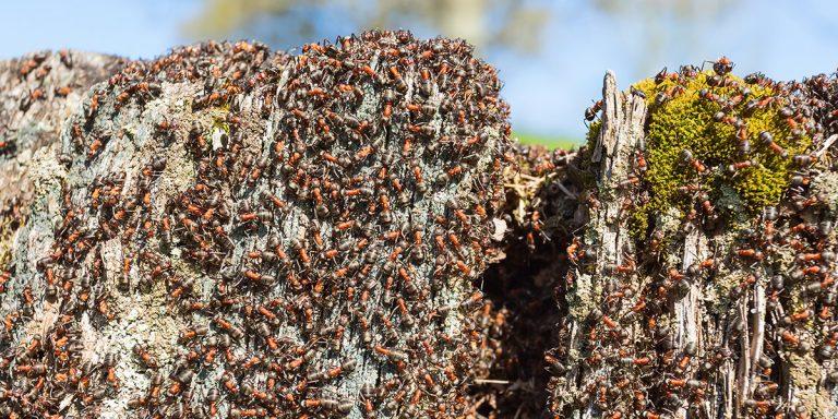 il-faut-combattre-les-fourmis-en-sattaquant-a-leur-nid